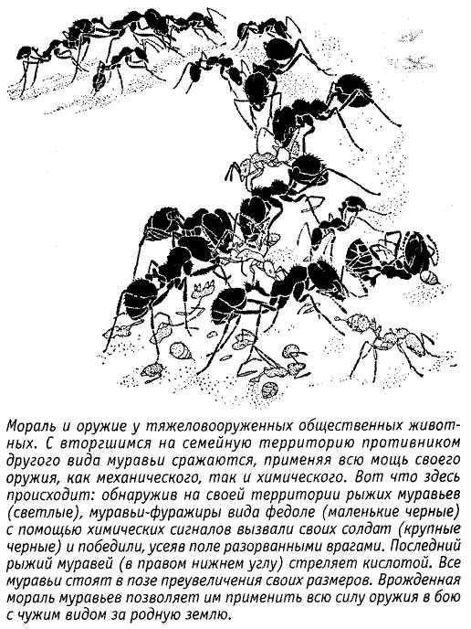 Бродячие муравьи - где обитают, особенности жизнедеятельности, размножения