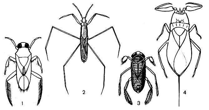 Ранатра палочковидная: описание внешнего вида и биологического развития водного клопа