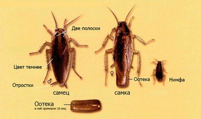 Как быстро размножаются домашние тараканы и как выглядит их самка?