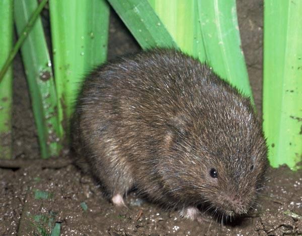 Как прогнать земляных крыс с дачи и огорода?