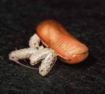 Как откладывают яйца тараканы