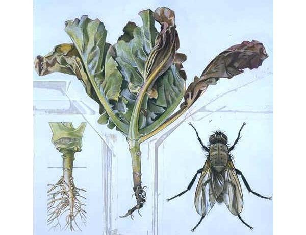 От капустной мухи нужно избавляться. профилактика и меры борьбы