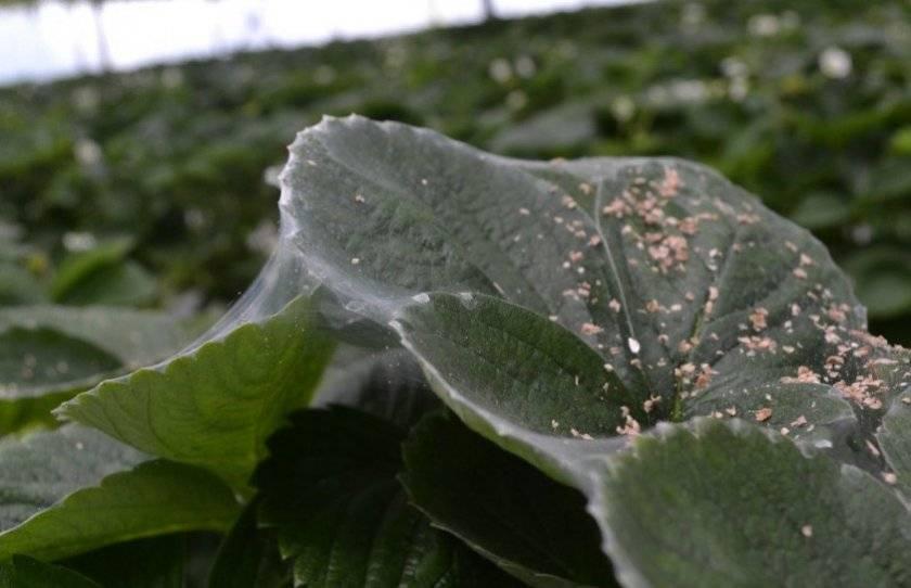 Боремся с паутинным клещом на домашних растениях