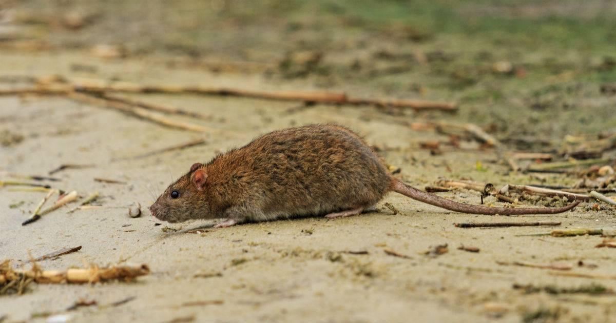 Какие болезни переносят крысы, какие инфекции может подхватить человек?
