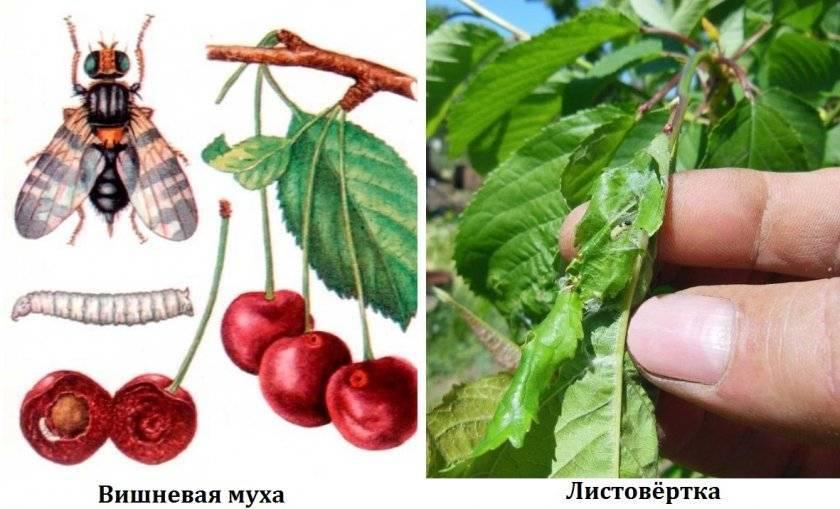 Борьба с вишневой мухой осенью. вишневая муха: методы борьбы. морфология развития вишневой мухи