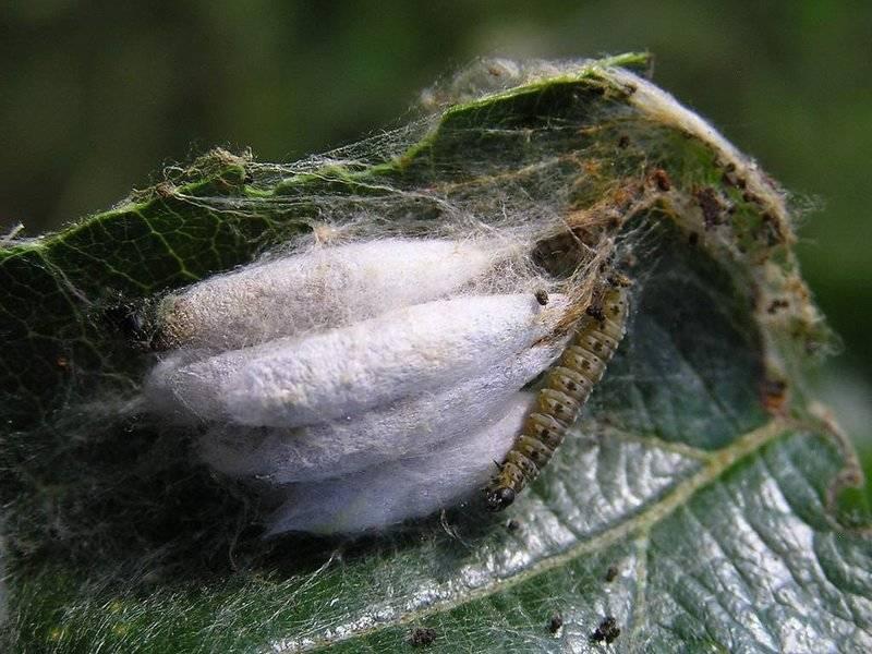 Пенница слюнявая – кто живет в пенных комочках на растениях?