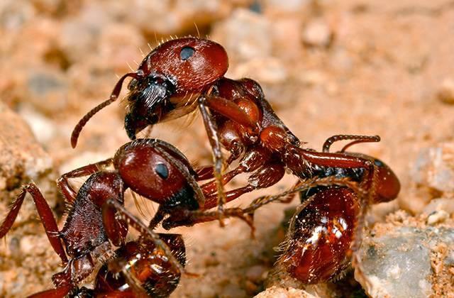 Стадии развития муравья. особенности внешнего строения, размножения и продолжительности жизни