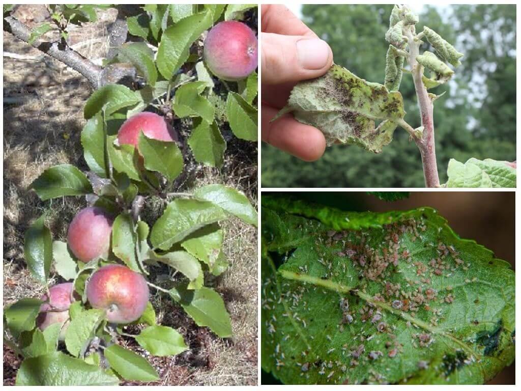 Как бороться с тлей на яблоне народными средствами и агрохимией