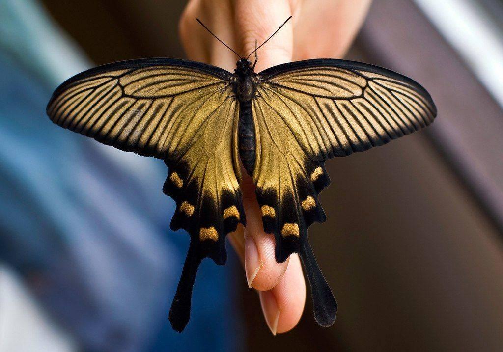 Бабочка павлиний глаз — особенности и характеристика