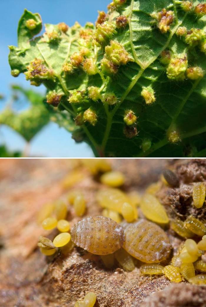Филлоксера: виноградная, листовая, меры борьбы и чем лечить