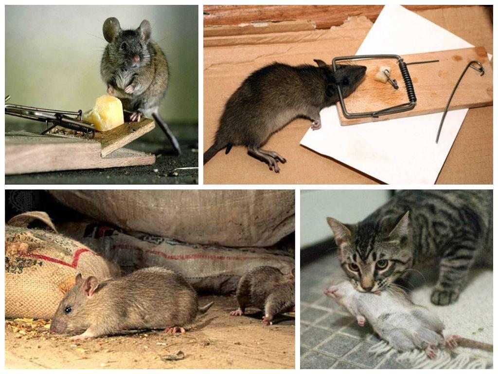 Крысы в сарае: как бороться с ними, как избавиться от них народными средствами?