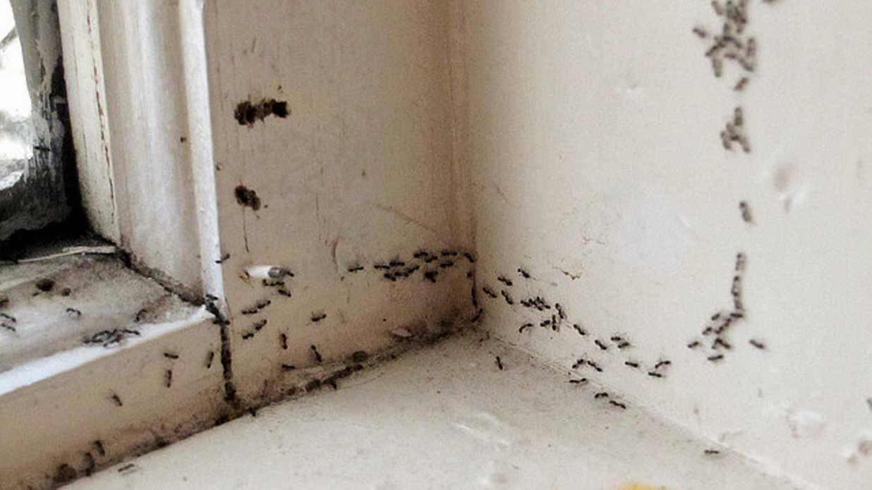 Как вывести муравьев из квартиры? – быстро и эффективно навсегда