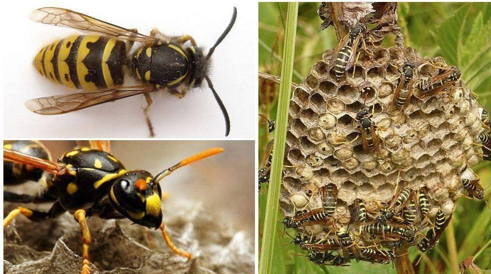 Матка осы – особенности поведения и жизненный цикл основательницы колонии