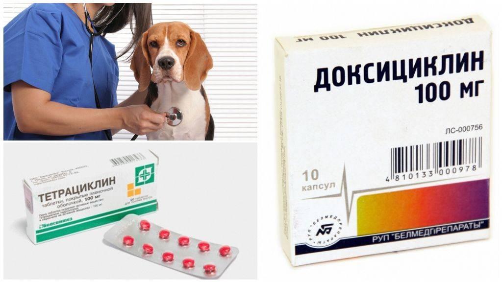 Последствия укуса клеща у собаки: заболевания вызываемые укусом клещей, симптомы и последствия