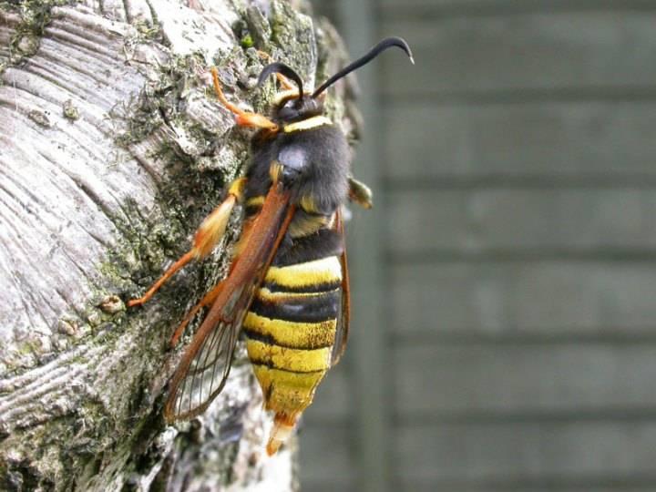 Шершень – фото и описание насекомого различных видов