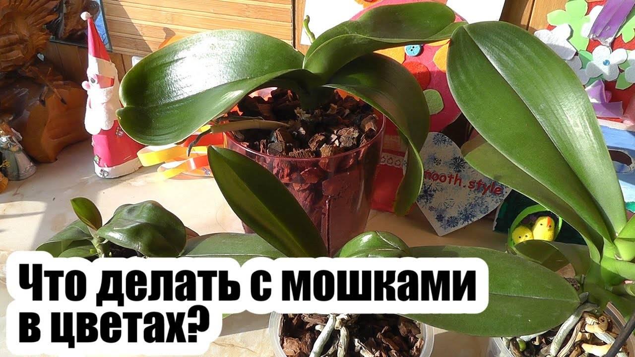 Варианты и методы борьбы с мошками на орхидеях: примеры с домашними условиями