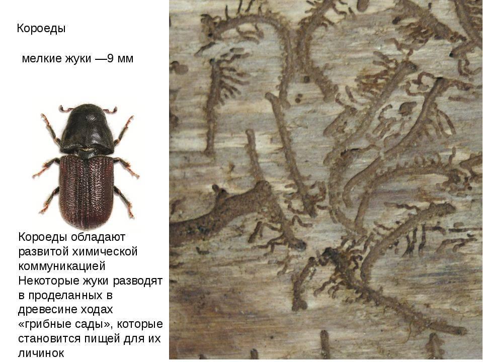 Короеды: строение и биология. короеды - биология короедов. семейство: ipidae [scolytidae] = короеды. жесткокрылые, или жуки. отряд: coleoptera = жесткокрылые, или жуки