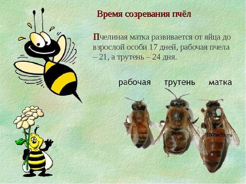 Самые интересные факты о пчелах   интересный сайт