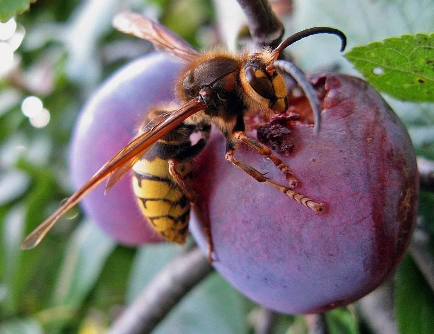 Чем питаются осы и их личинки - любимые и необычные лакомства