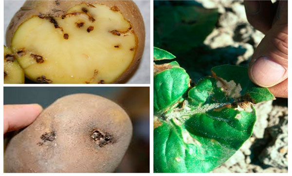 Как бороться с картофельной молью: меры борьбы и профилактики? / как избавится от насекомых в квартире