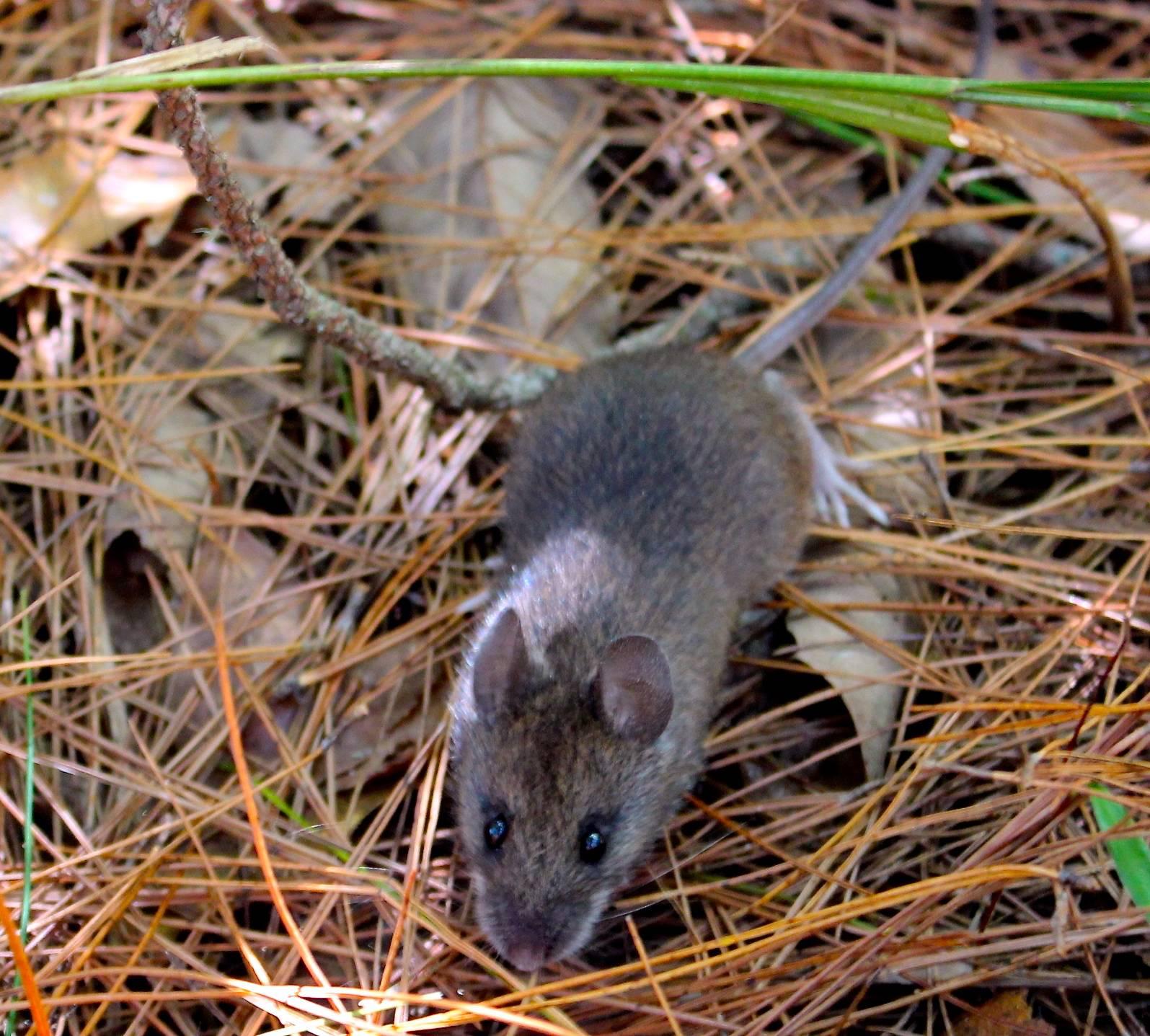 Изучение видов полевки: подземная, бразильская, темная, узкочерепная и плоскочерепная