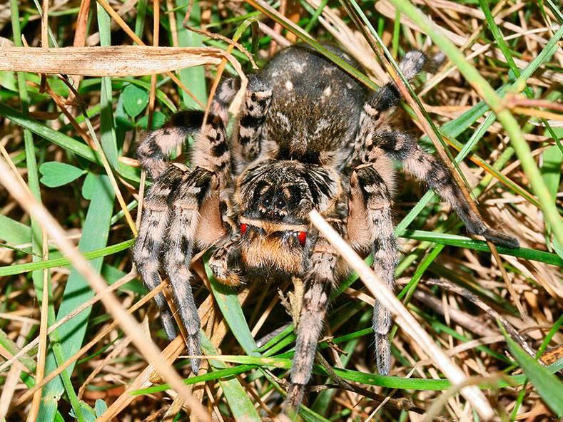Доклад про паука тарантула 2, 3, 4, 7 класс сообщение