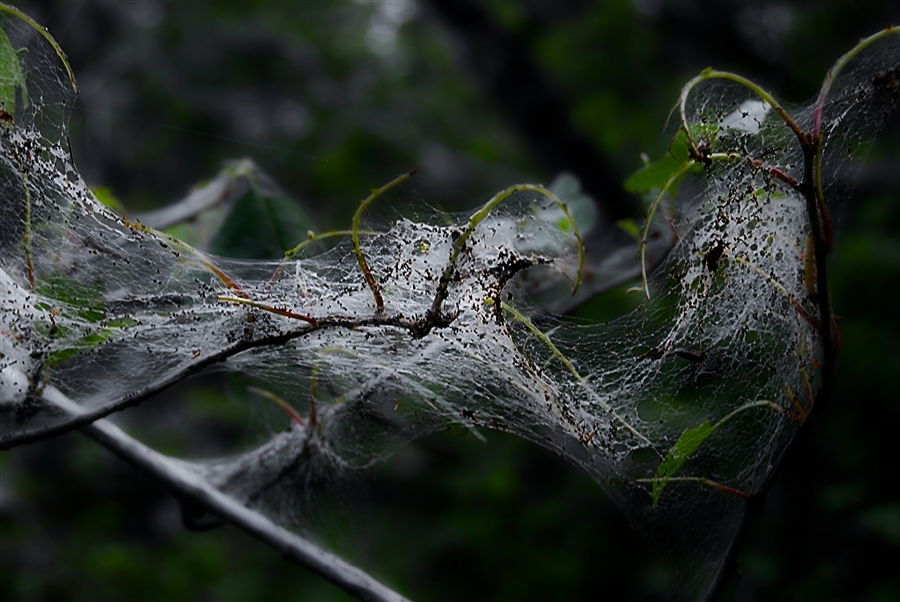 Паутина на плодовых деревьях весной – причины и способы борьбы