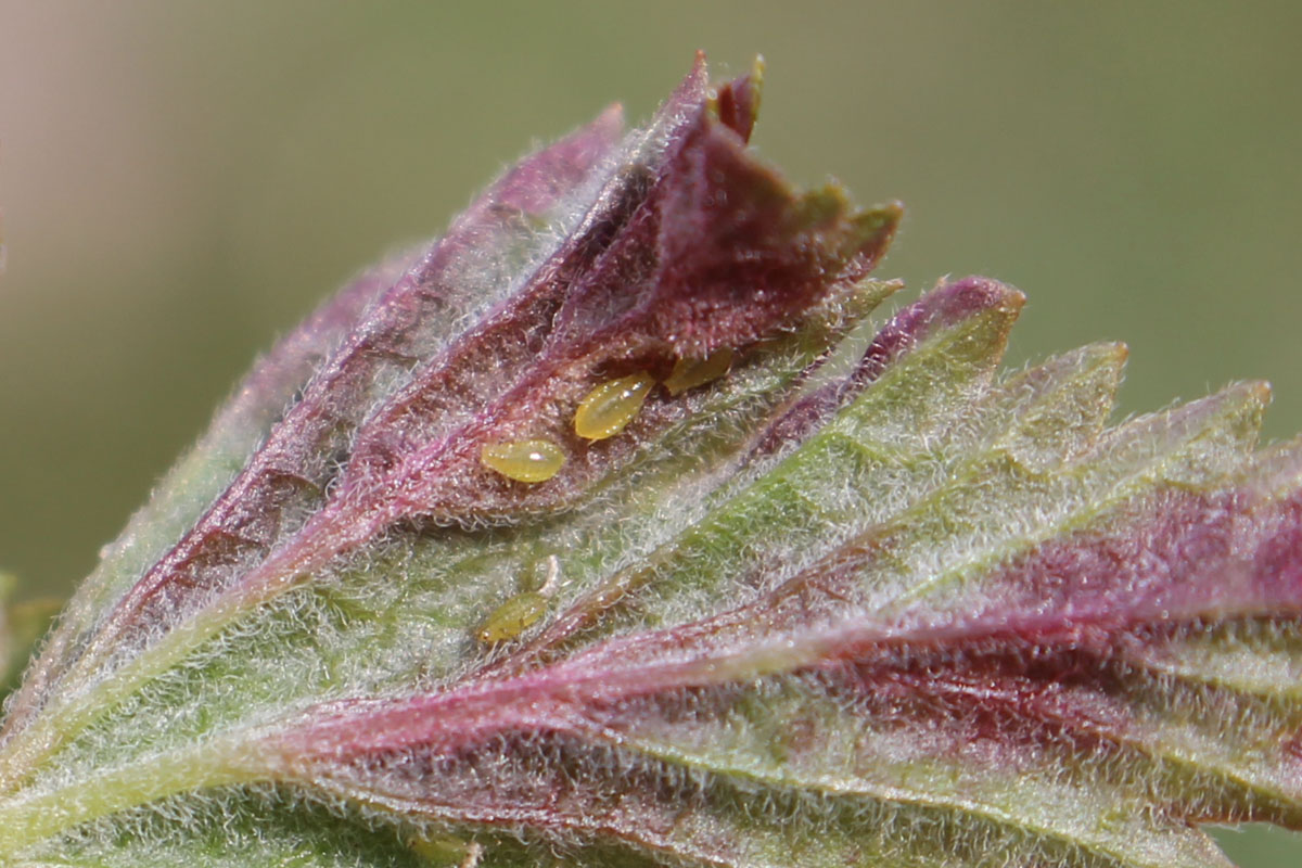 Галловая тля на смородине, или почему у смородины красные морщинистые листья