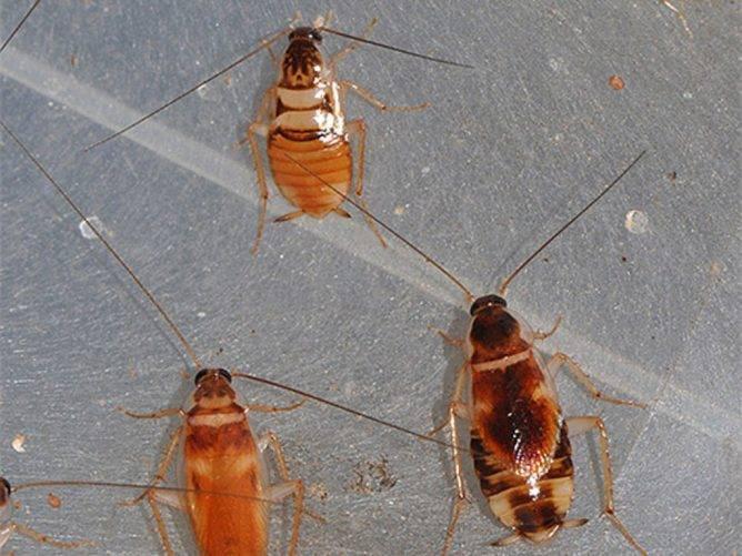 При какой температуре умирают тараканы