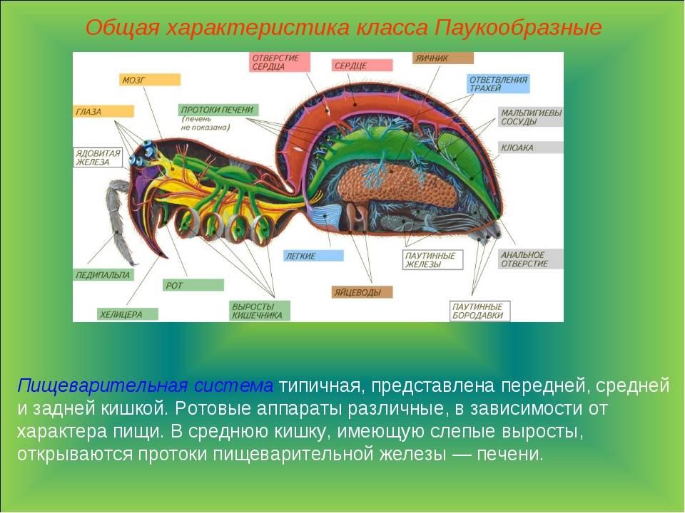 Строение паукообразных – железы, ротовой аппарат, особенности органов дыхания