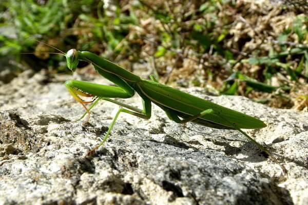 Кто такой богомол. богомол обыкновенный – живая ловушка для насекомых