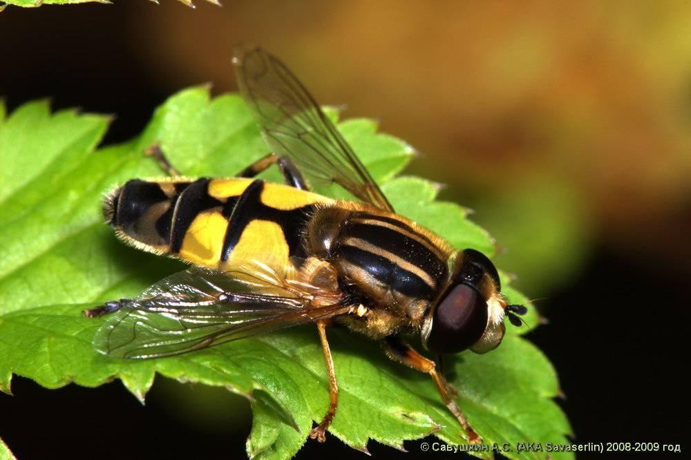 Муха журчалка кусается или нет. муха журчалка – полезное насекомое