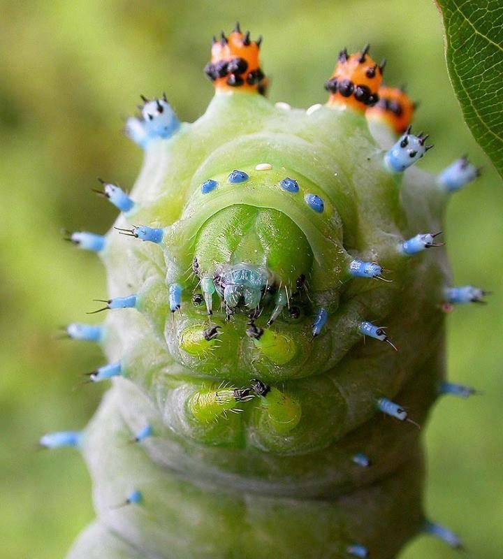 15 очаровательных  гусениц, которых вам не захочется потрогать :: инфониак