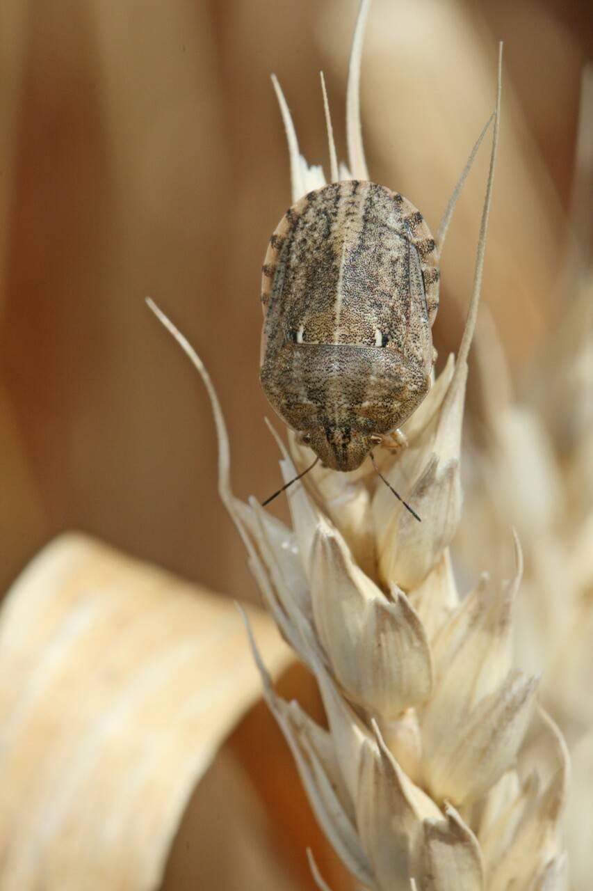 Как защититься от клопа черепашки на пшенице?