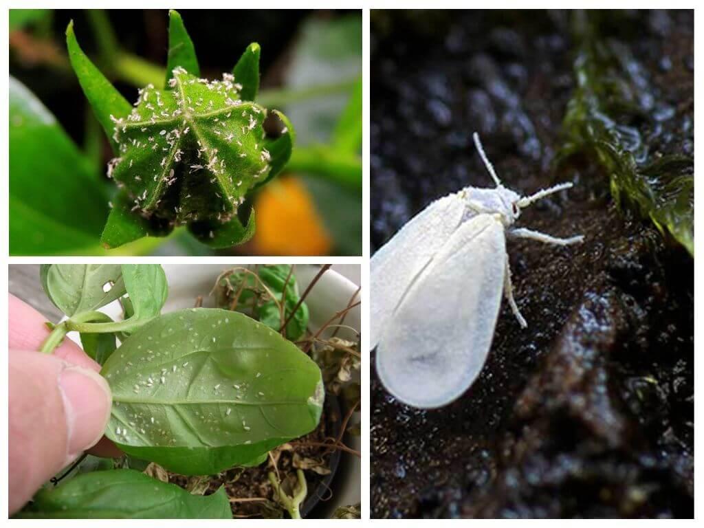 Болезни и вредители: причины и лечение комнатных растений