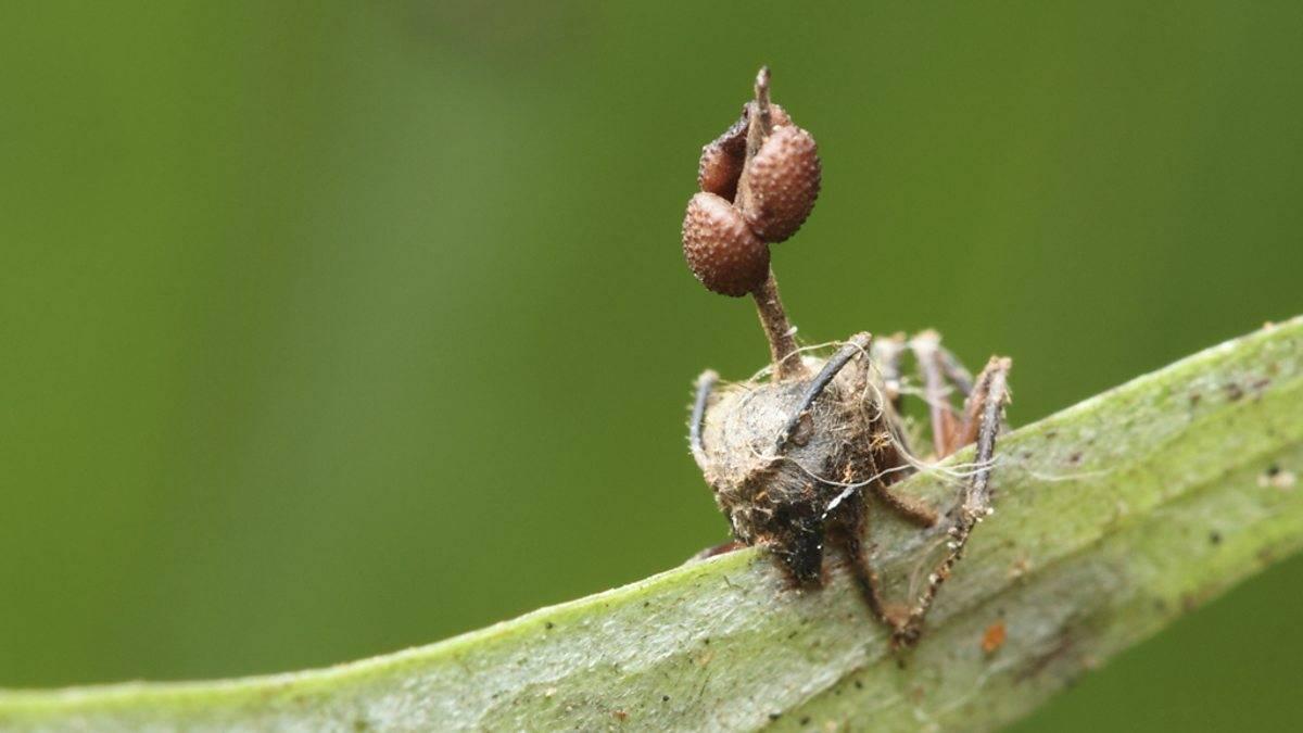 Как гриб-паразит превращает насекомых в зомби