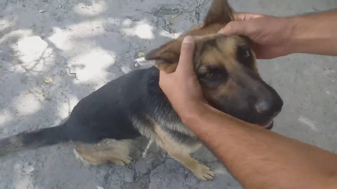 Чем и как обработать уши собаке от мух. способы защиты собаки от мух