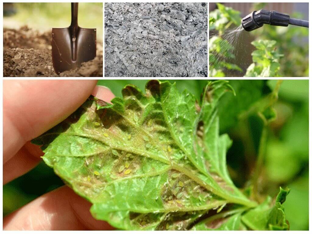 Тля на смородине: как бороться против вредителя весной, летом, осенью