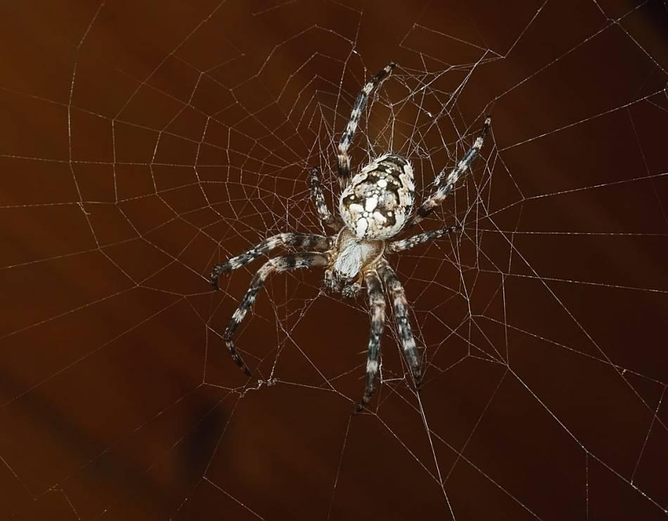 Крестовик (паук-девочка)
