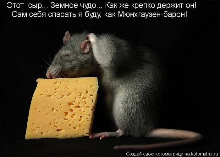 Можно ли крысам молоко: едят ли домашние декоративные питомцы сыр, почему нельзя жирные продукты