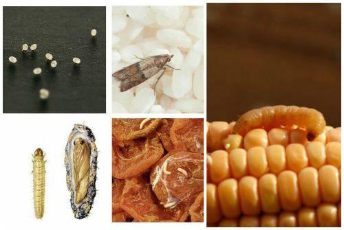 Как выглядят личинки моли, как устранить яйцекладку и вывести прожорливых паразитов из жилища