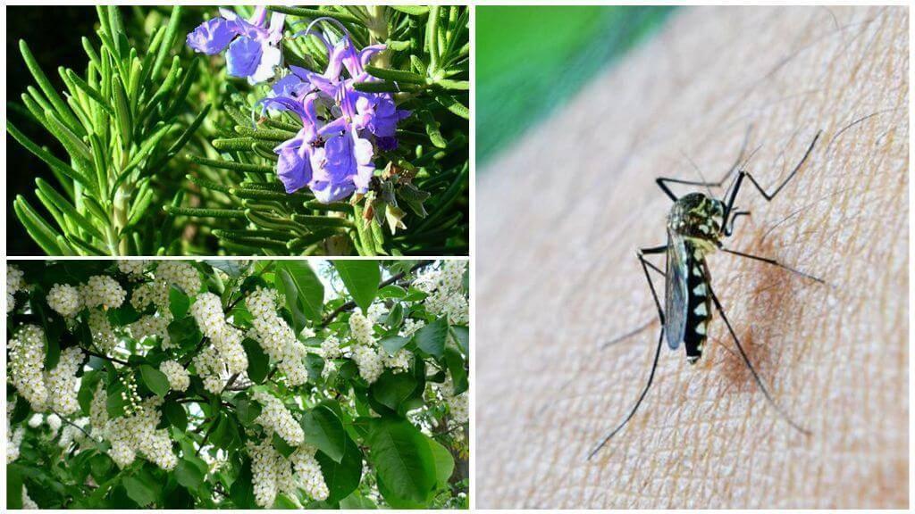 Какие растения не любят муравьи и тля на даче и в саду