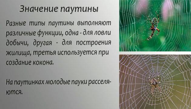 Паутина у паука: строение желез, химический состав, узоры