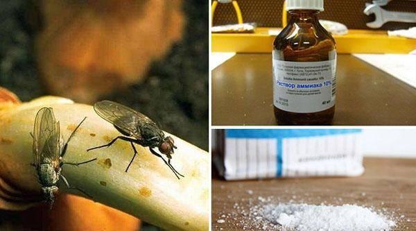 Вишневая муха (15 фото): меры борьбы, сроки обработки и препараты, как выглядит вредитель
