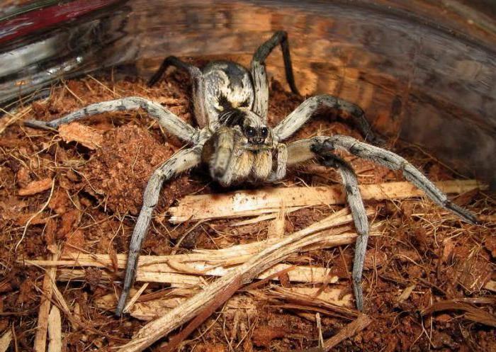 Ядовитые пауки россии — описание, фото, последствия укуса