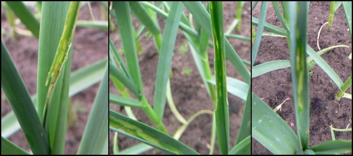 Изменениеокрасаперьев у лука и чеснока