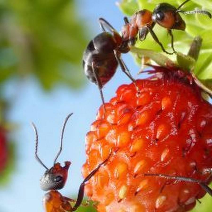 Как бороться с муравьями в клубнике: народный и современный методы