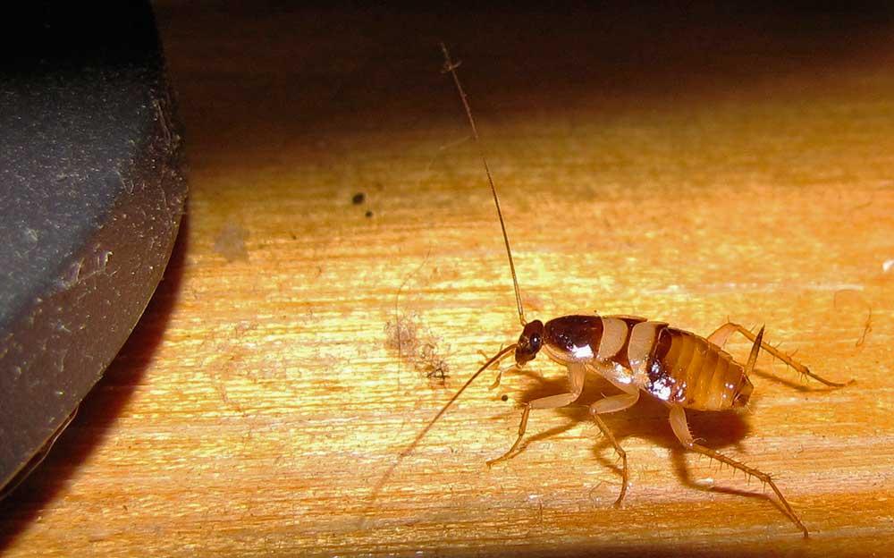 Короткий обзор: всё о домашних тараканах