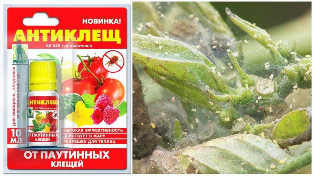 Эффективные средства от паутинного клеща: препараты для комнатных и сельскохозяйственных растений русский фермер