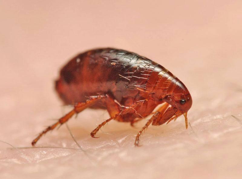 Как размножаются блохи и сколько живут, фото яиц и личинок / как избавится от насекомых в квартире